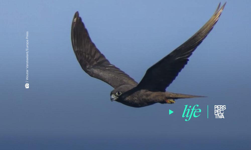 Grandes aves terrestres se ciñen al mejor viento para cruzar el océano