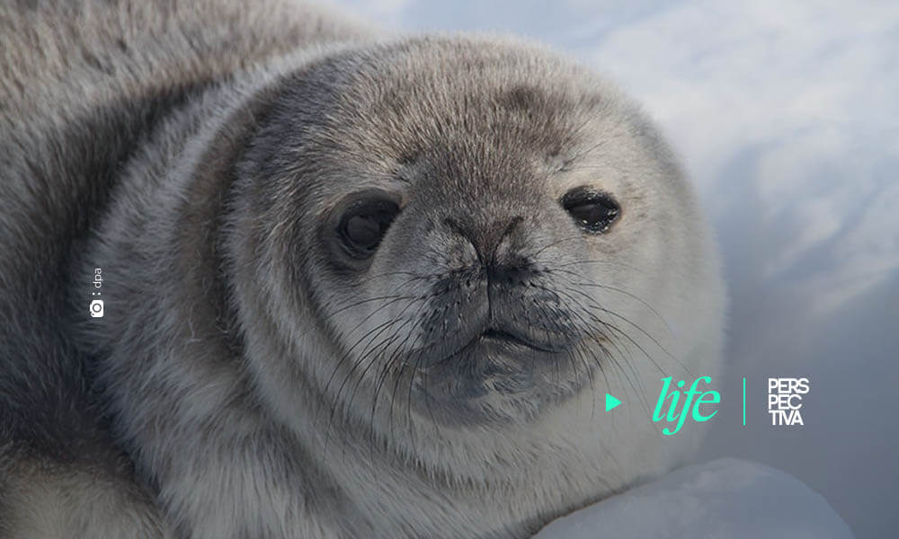 Primera estimación de población de focas en la Antártida por satélite